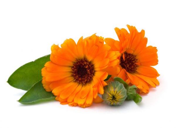 Календула, цветочная вода