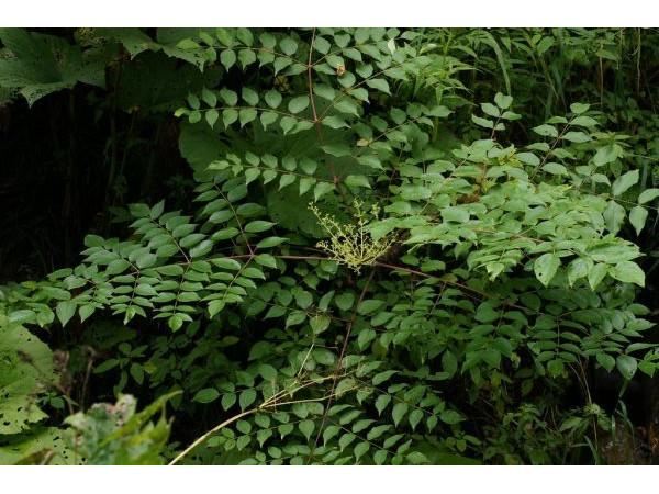 Аралия маньчжурская, экстракт сухой