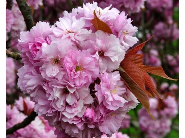 Эфирное масло вишни цветущей, NEW