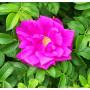 Эфирное масло розы, NEW